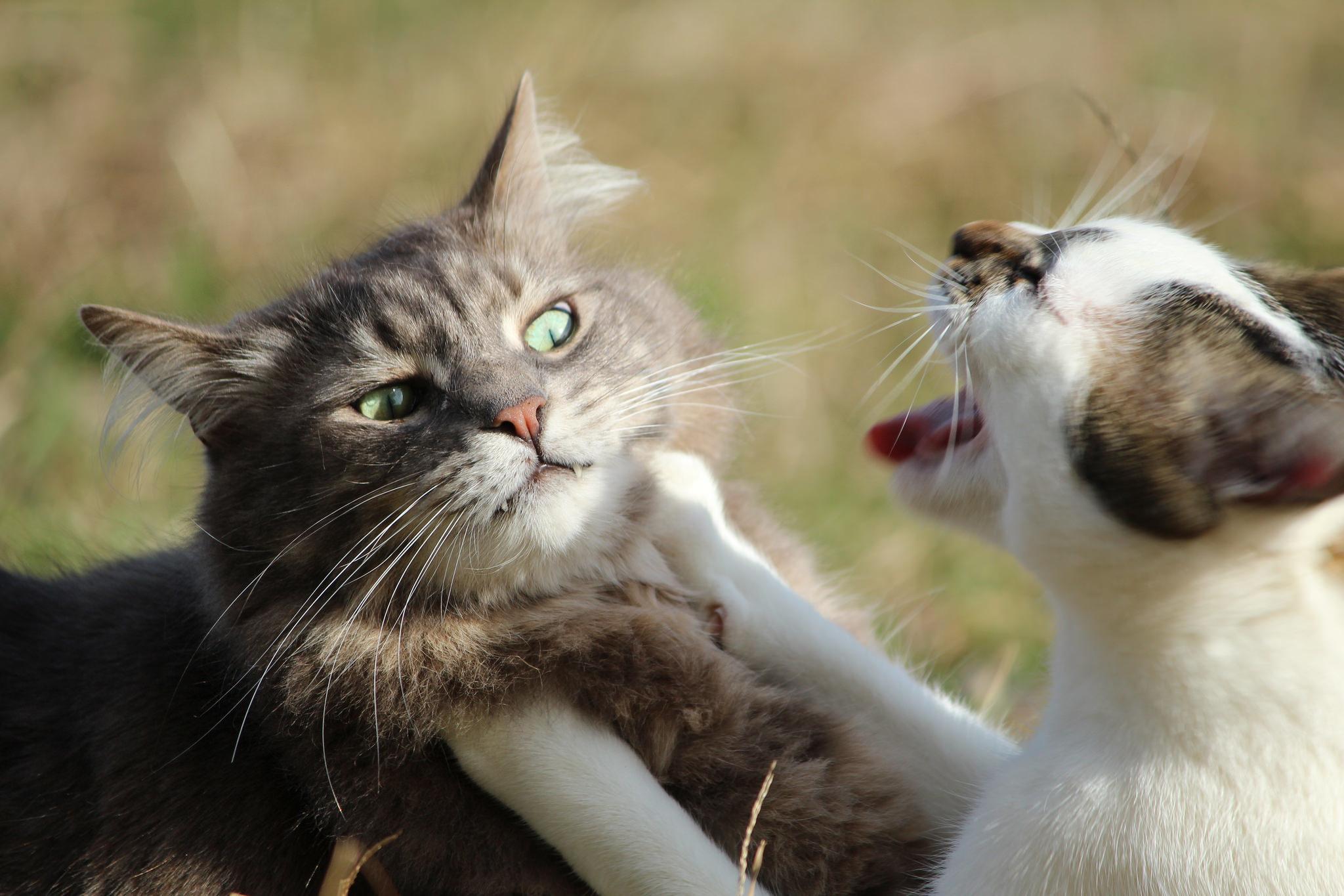 壁纸 动物 灵长目 猫 猫咪 小猫 桌面 2048_1365